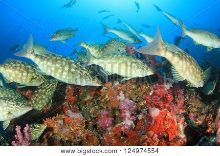Emperor, Grouper and Snapper fish hunting on coral reef