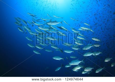 School tuna fish in ocean