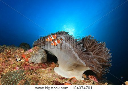 Anemone and clownfish on underwater ocean reef
