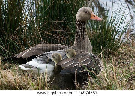 Two Gray Goose Chicken Hiding In Their Mothers Wing.