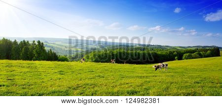 Landscape with field and cow.Summer landscape with green grass and sun.