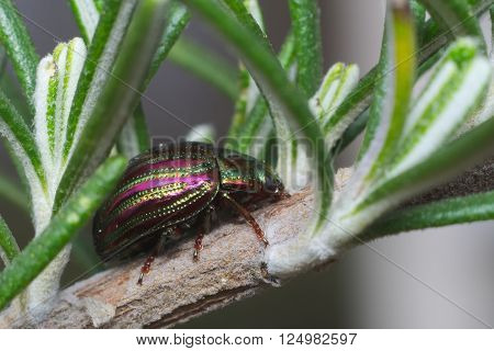 Rosemary beetle (Chrysolina americana) on rosemary plant in Italy
