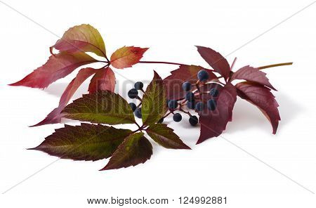 Leaves and berries are a Parthenocissus isolated on white background