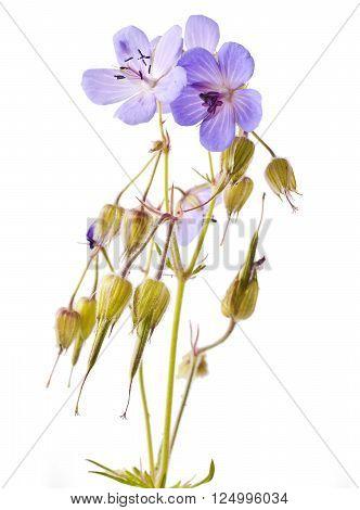 Geranium (johnson's blue) flower isolated on a white background