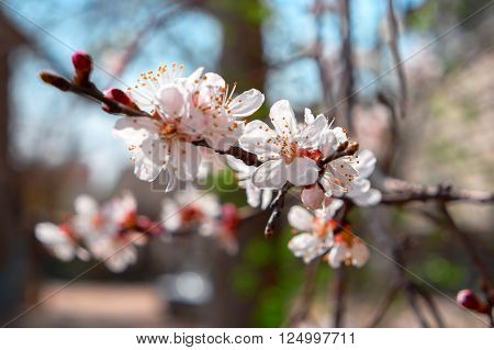 Apricot blossom. Apricot tree branch covered with flowers, seasonal floral nature background, shallow depth of field, selective focus.