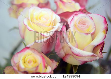 Fresh pink - yellow rose close. Background of roses. The flowers are beautiful. A bouquet of roses.