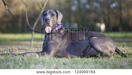 Purebred grey Great Dane laying on the grass