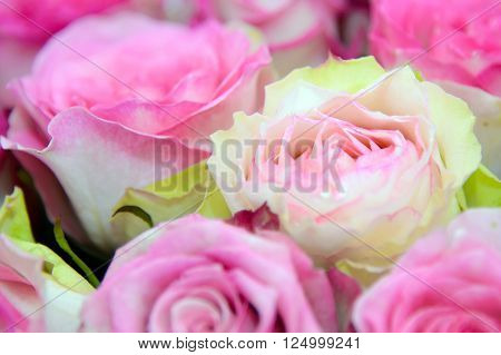 Pink roses background. Tender pink rose close. Background of roses. The flowers are beautiful.