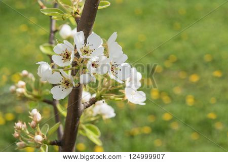 Close up of pear tree branch with flowers selective focus horizontal shot