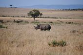 White Rhino In African Savannah