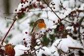 Robin in berry bush in the snow