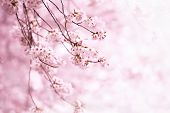 Постер, плакат: Cherry blossom in full bloom Cherry flowers in small clusters on a cherry tree branch Shallow dept
