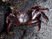 A Black Crab poster