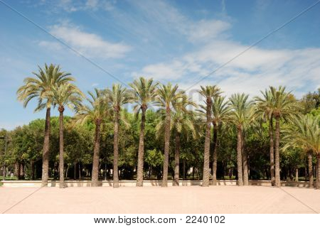 Palmtrees In Citypark Of Valencia, Spain