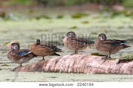 Wood Ducks On A Log With A Turtle