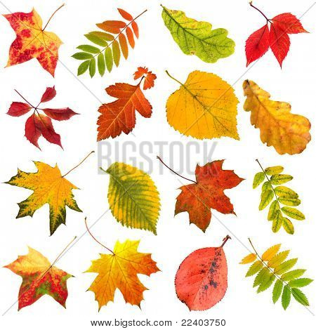 collection beautiful colourful autumn leaves  isolated on white background