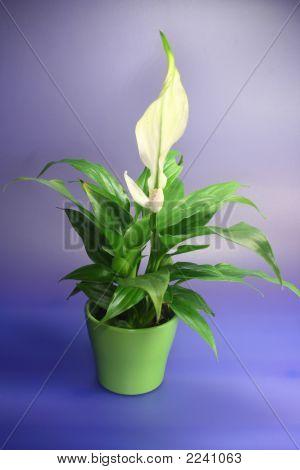 white spathiphyllum