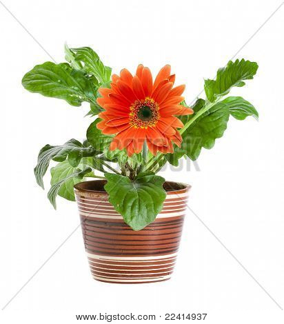 orange gerbera in a ceramic pot isolated on white background