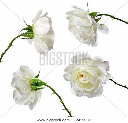 beautiful white roses on a white background