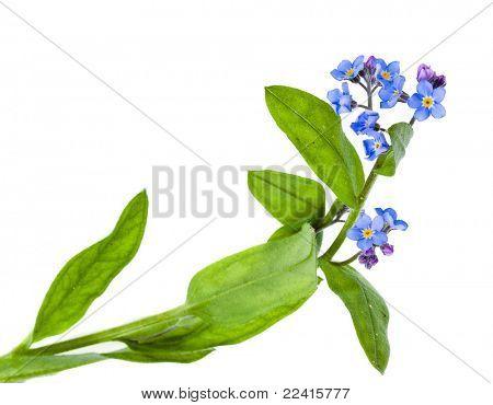 forget-me-not (Myosotis arvensis) flower on white