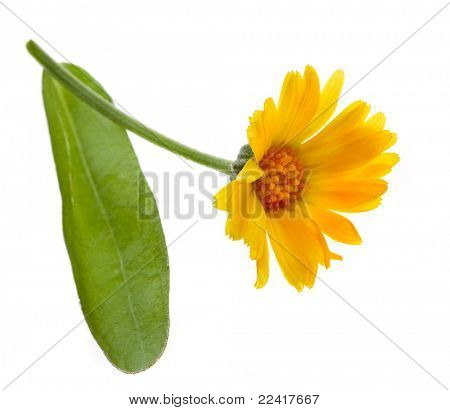 blossom of calendula  isolated