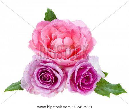 hermosas rosas aislados sobre un fondo blanco