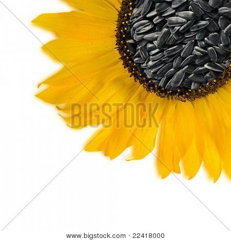 Flower sunflower seeds Isolated over white