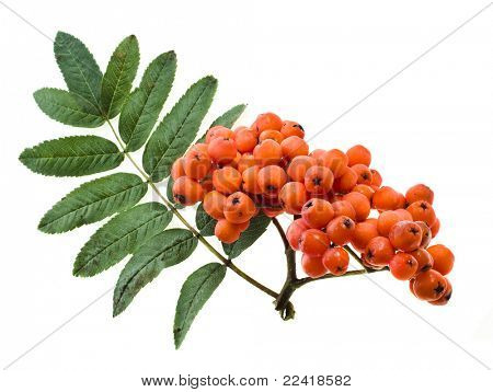 red rowan isolated on white