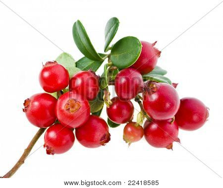 Cowberries isolated on white