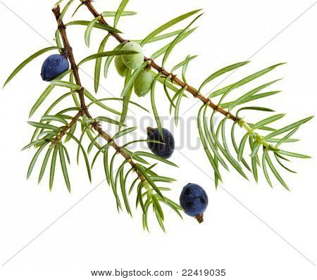 Branch of juniper with berries isolated on white