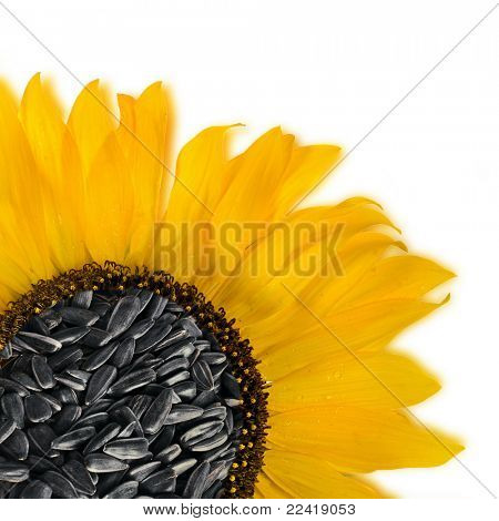 Flower sunflower seeds