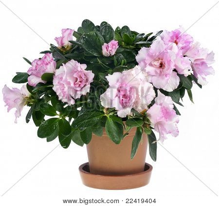 azalea flower in the pot isolated on white