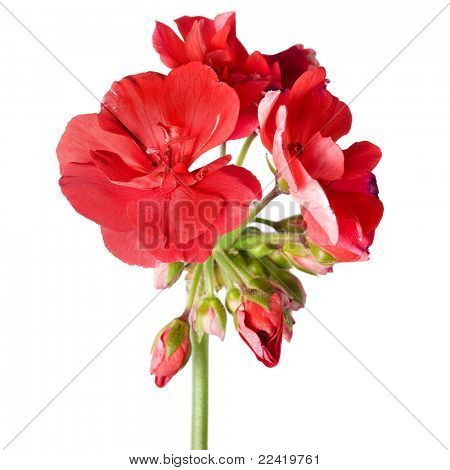red geranium flower isolated  on white background