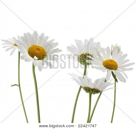 Kamille-Blume, isolated on white