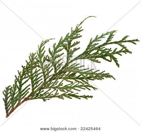 Foliage of Japanese Thuja tree, isolated