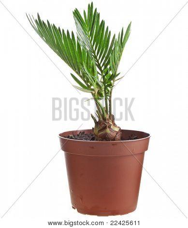 Palm tree in flowerpot