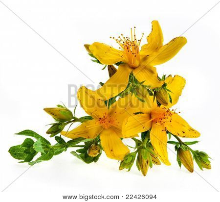 Common St. Johnswort flower ( tutsan ) isolated on white