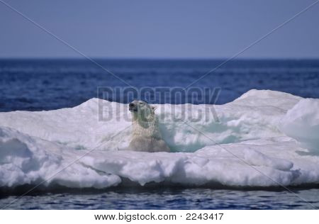 Polar Bear In Ice Floe, Wager Bay In The Canadian Image
