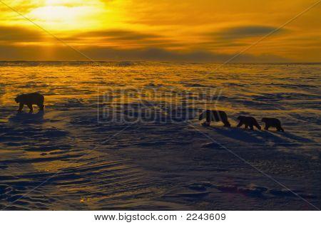 Polar Bears At Sunset