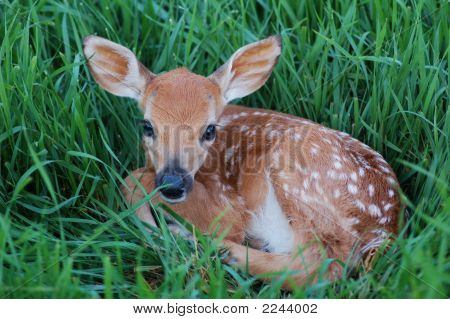 Young Spotted Fawn