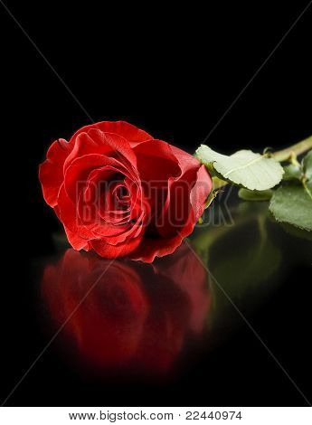 red rose with reflection isolated on black background