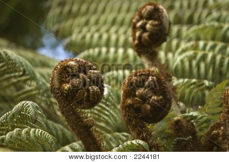 Silvern Fern New Leaves - Koru