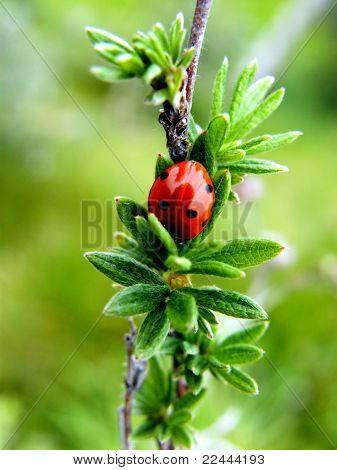 Tímido Ladybug