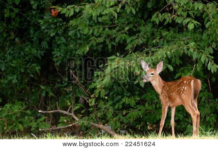 Young Fawns in the wild