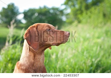 Closeup Portrait Of A Vizsla Dog