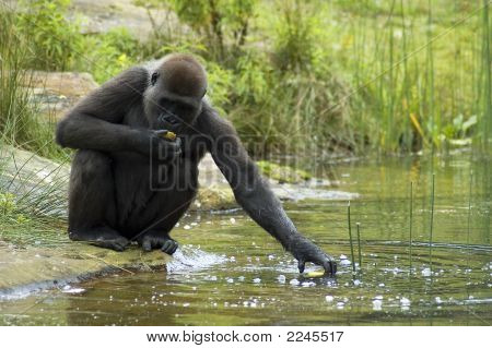 Gorilla Reaching For His Food