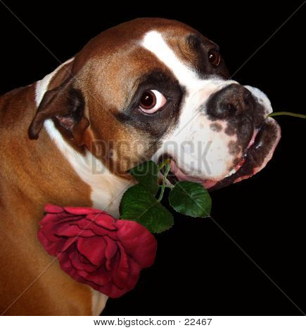 The Boxer And The Rose (blk Background)