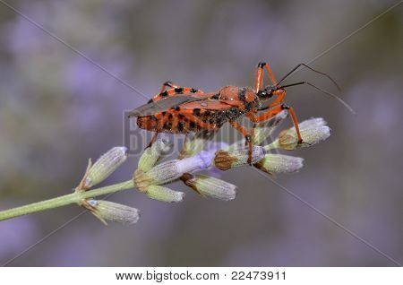 Assassin bug on lavender