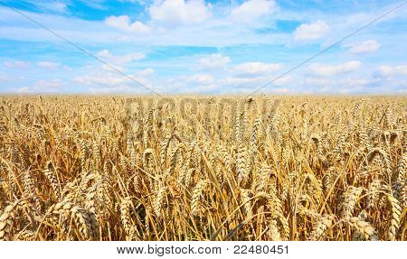 Summer Field of a Ripe Common wheat - Bread Wheat (Triticum aestivum)