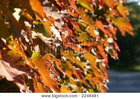 Autumn Leaves Closeup